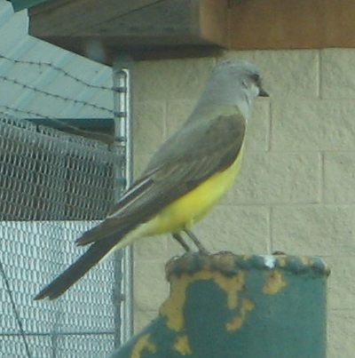 yellowbreastbird1.jpg