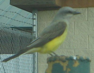 yellowbreastbird2.jpg